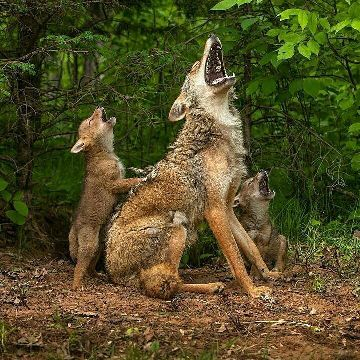 coyotes-howl-Look-at-these-cunning-creatures