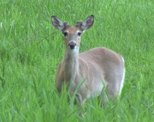 how-long-are-deer-pregnant