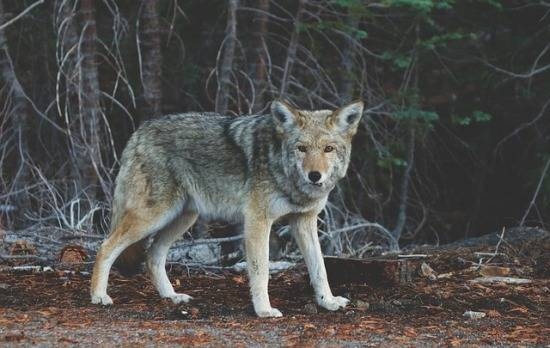 how-to-find-a-coyote-den
